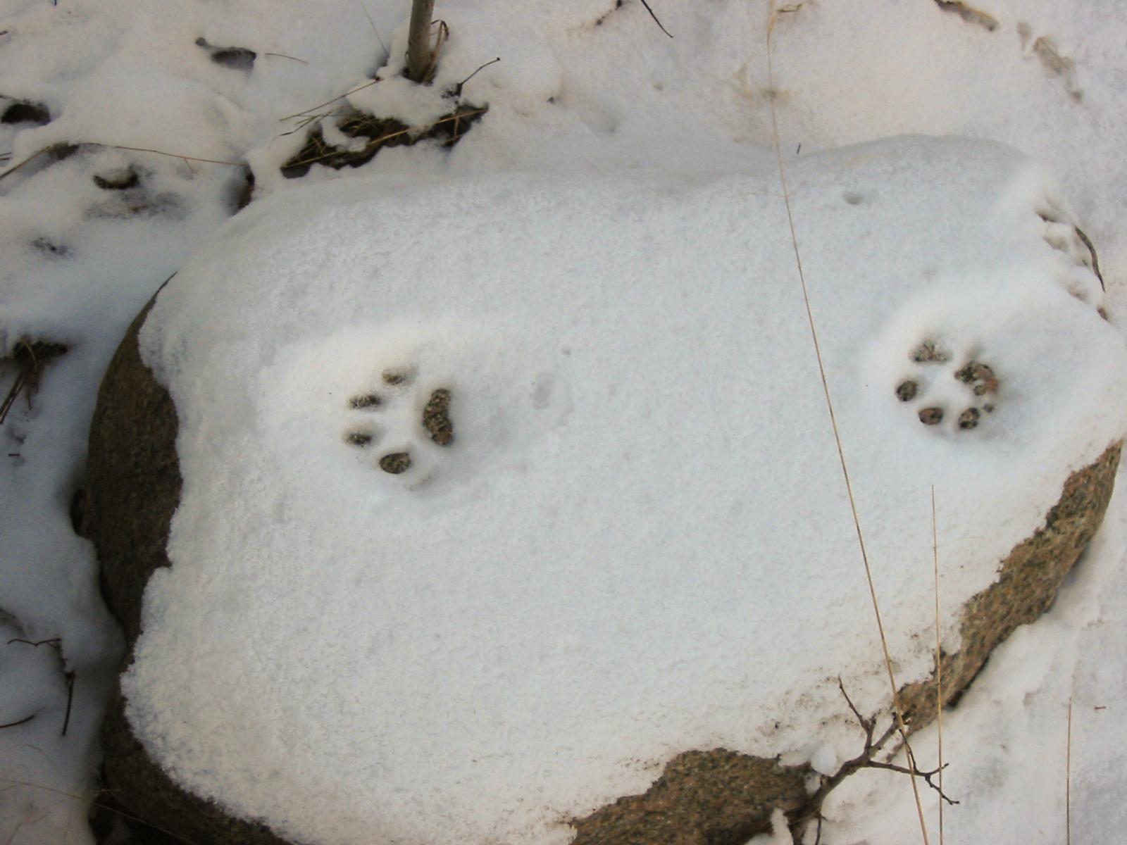 Luchsfährte im Schnee – charakteristisch für Luchsfährten ist das Fehlen von Krallenabdrücken, da diese während des Laufens in die Hauttaschen zurückgezogen werden