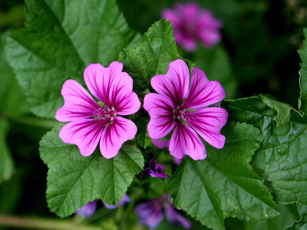 La malva una planta maravillosa barnatural for Malvarrosa planta