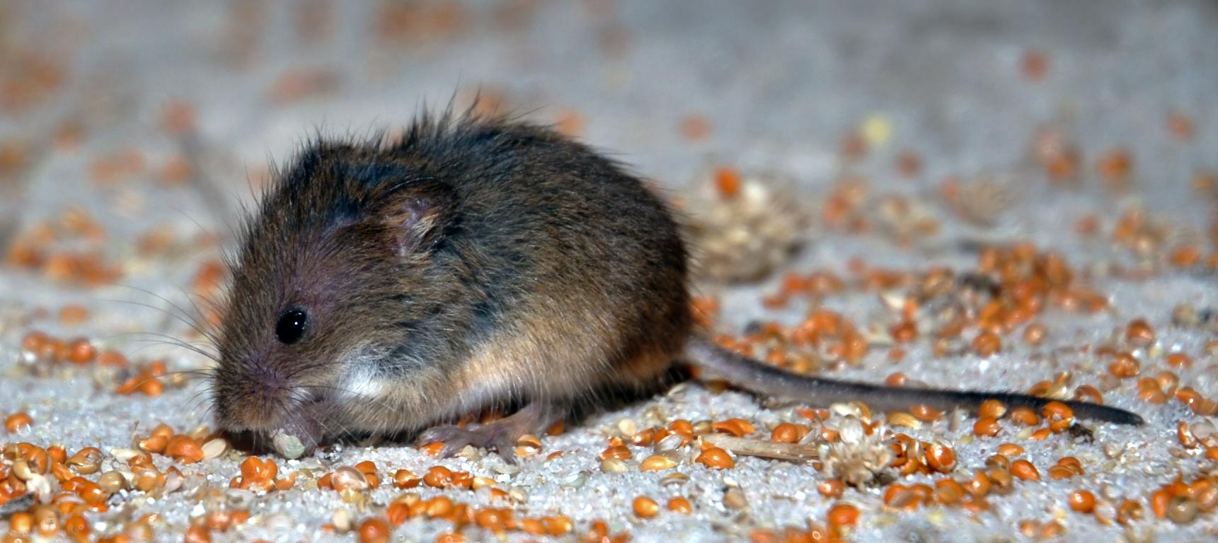 Une souris naine en train de déjeuner