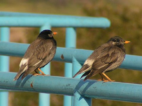 Alternate name: Grey Starling