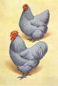 Illustration of Orpington Hen and Cock