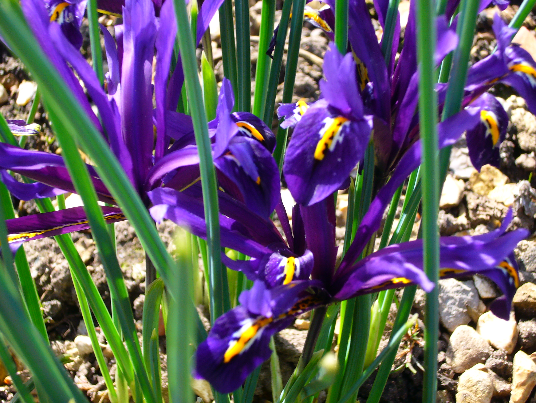 file p1130480 iris reticulata iridaceae jpg wikimedia. Black Bedroom Furniture Sets. Home Design Ideas