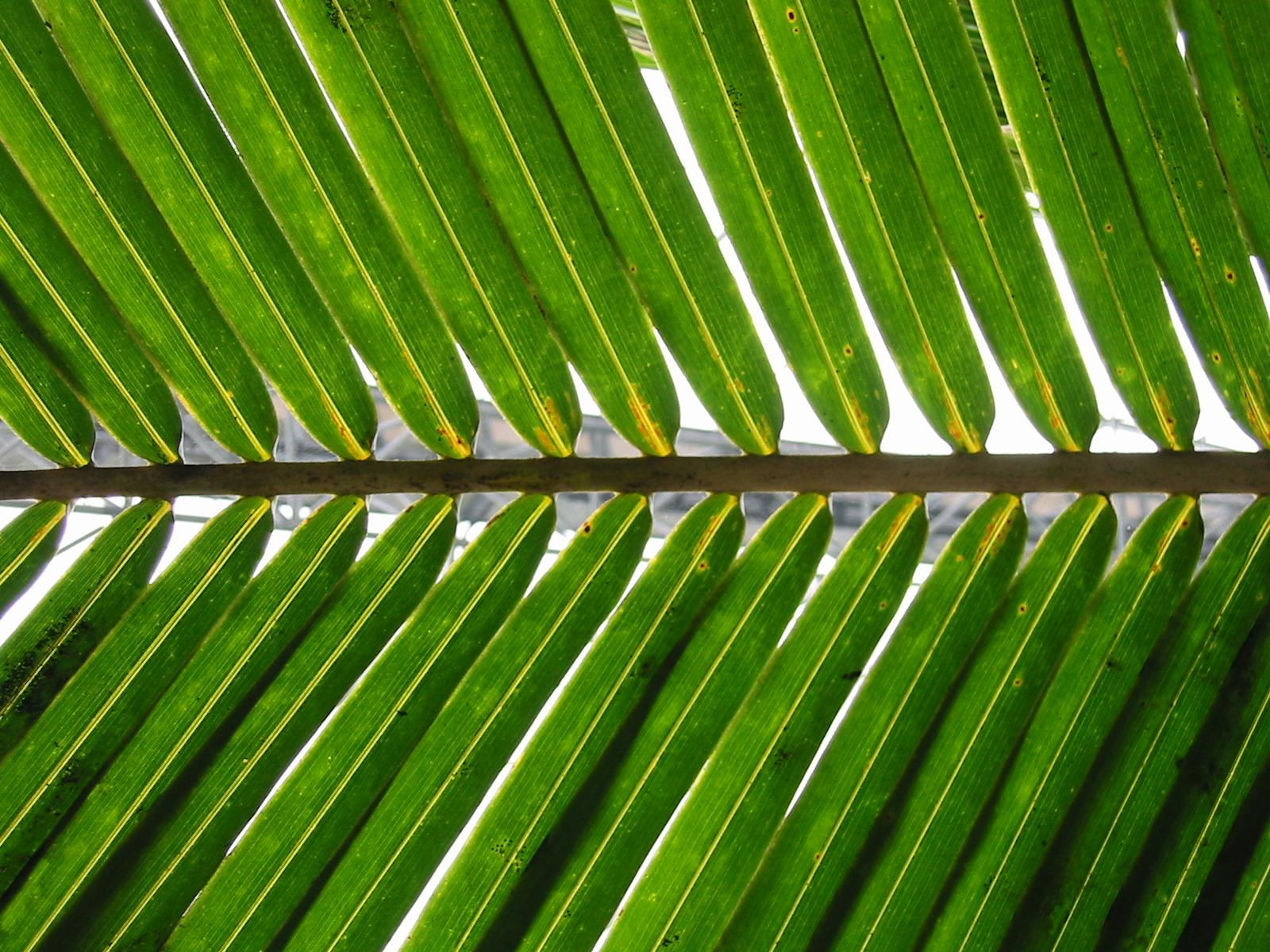 File:Palm frond.jpg - Wikimedia Commons