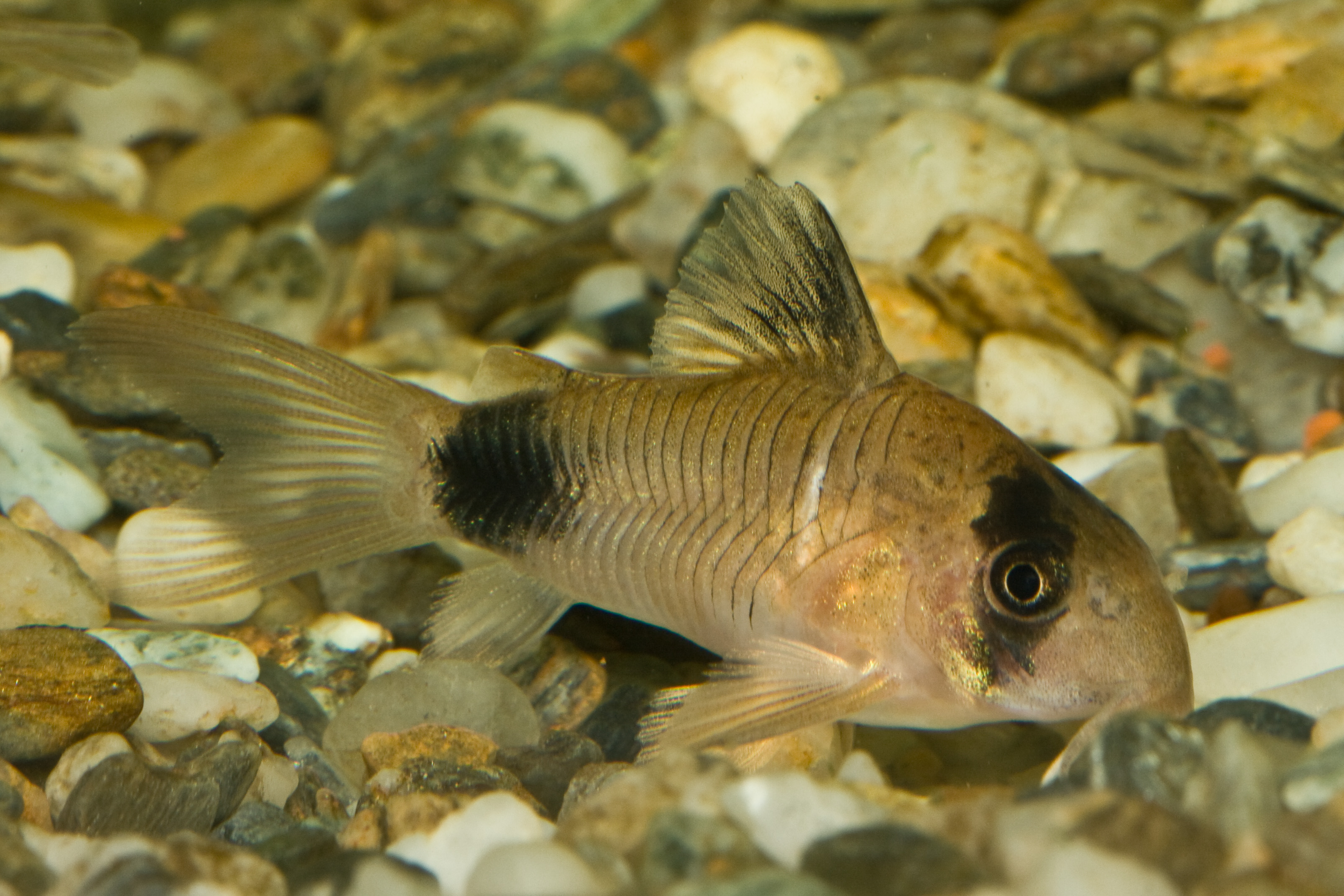 Badman's Tropical Fish - Archives: Treating ick with corys ...