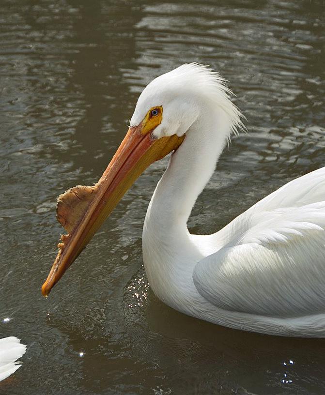 File pelecanus erythrorhynchos tulsa zoo oklahoma usa - Fotos de pelicanos ...