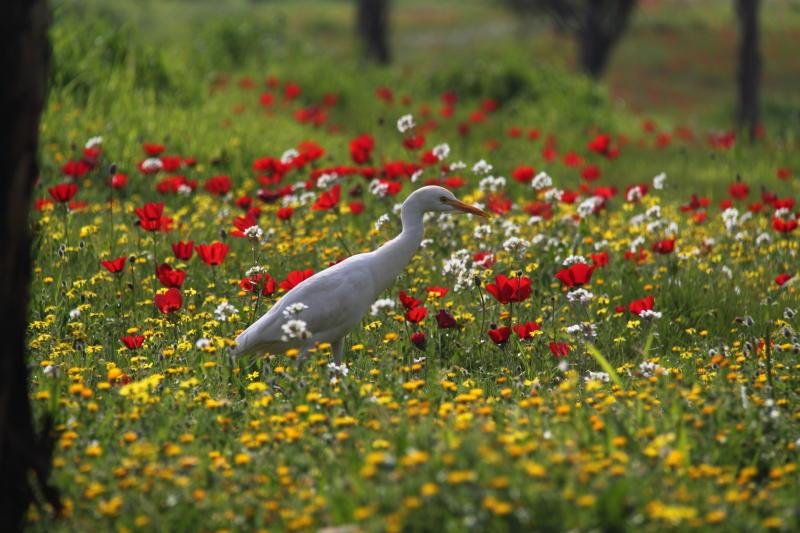 אנפה בין הפרחים