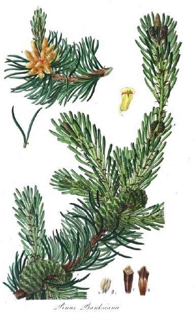 Pinus thunbergii  Wikipedia