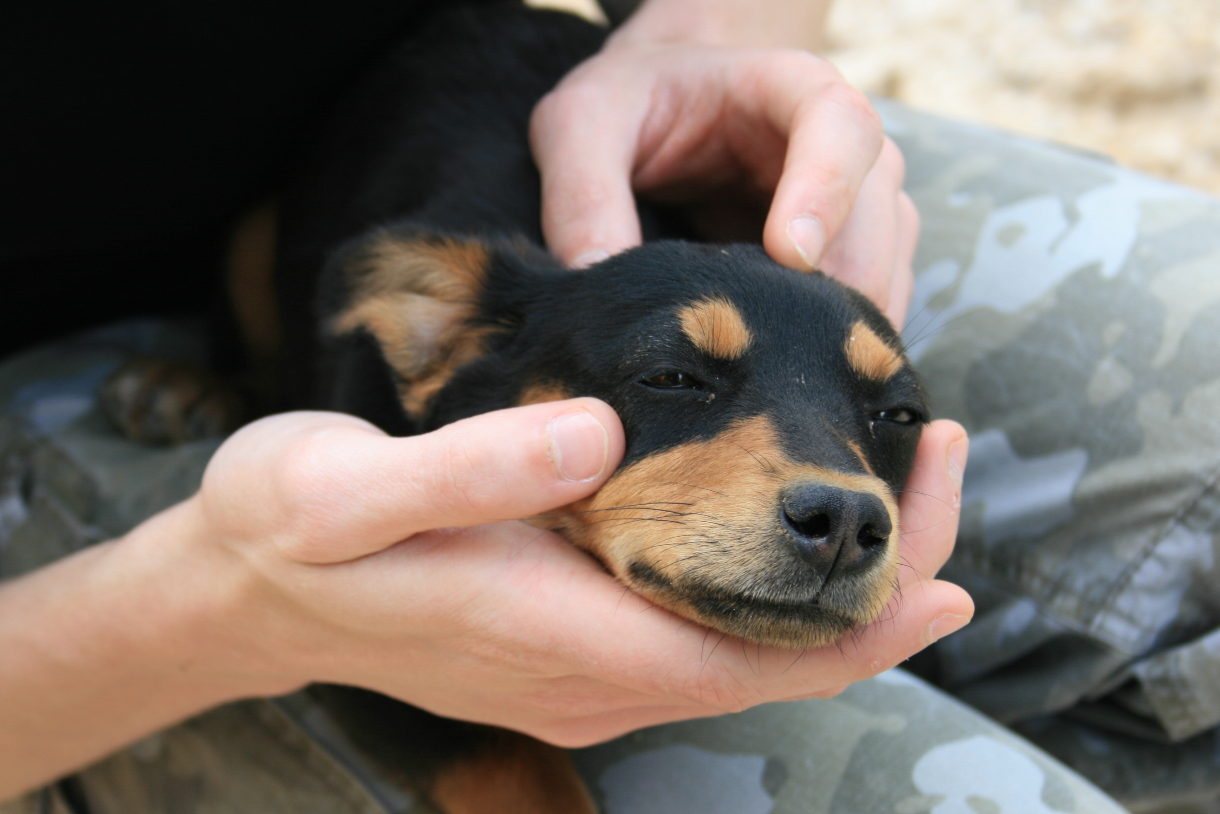 Small dog laying between the hands