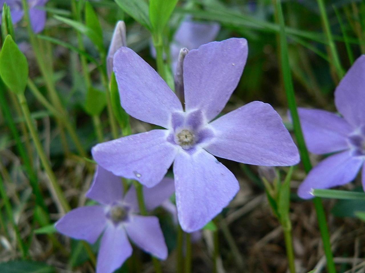Filepurple blue flowerg wikimedia commons filepurple blue flowerg izmirmasajfo