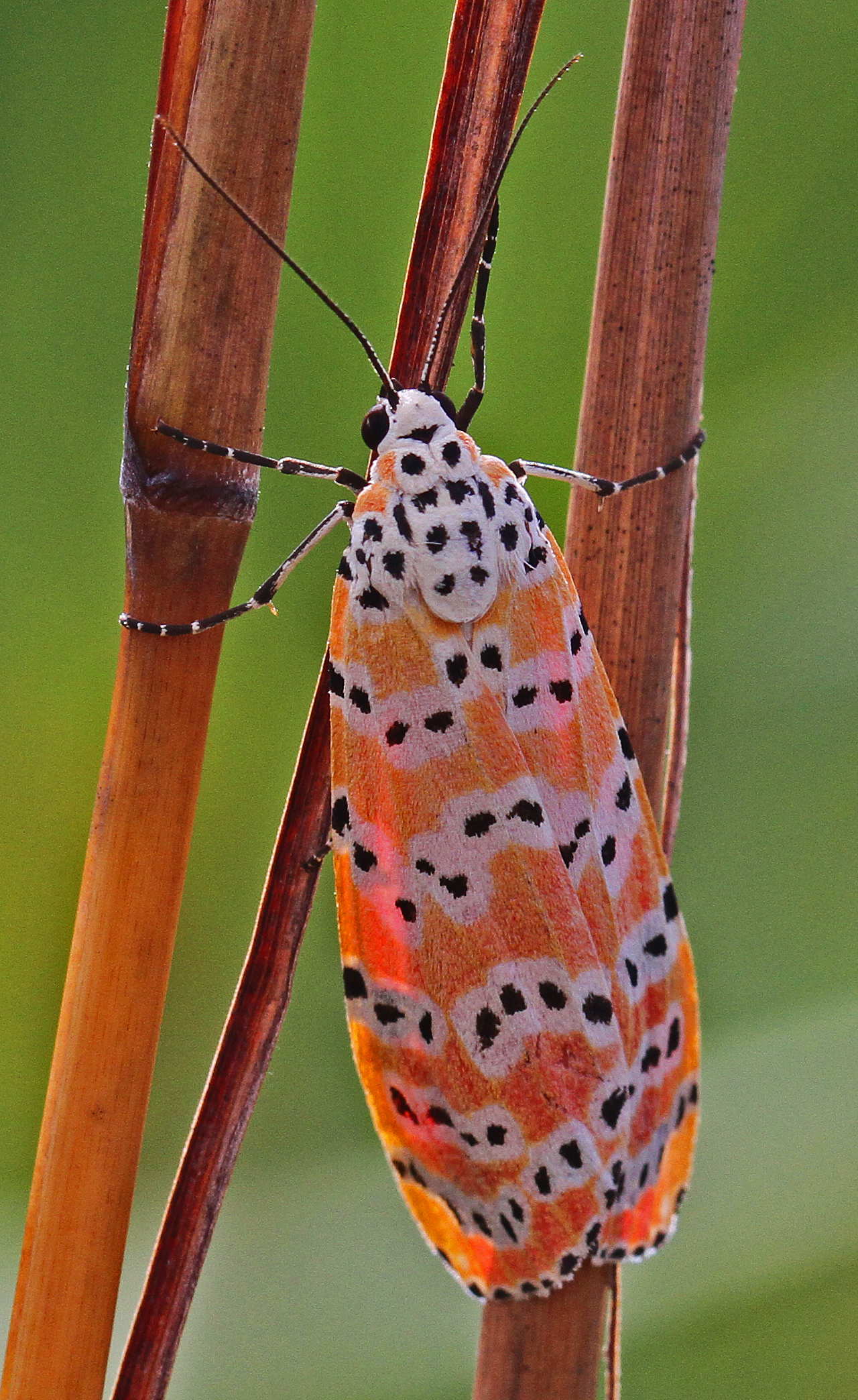 File:Rattlebox Moth - Utetheisa ornatrix, Long Pine Key