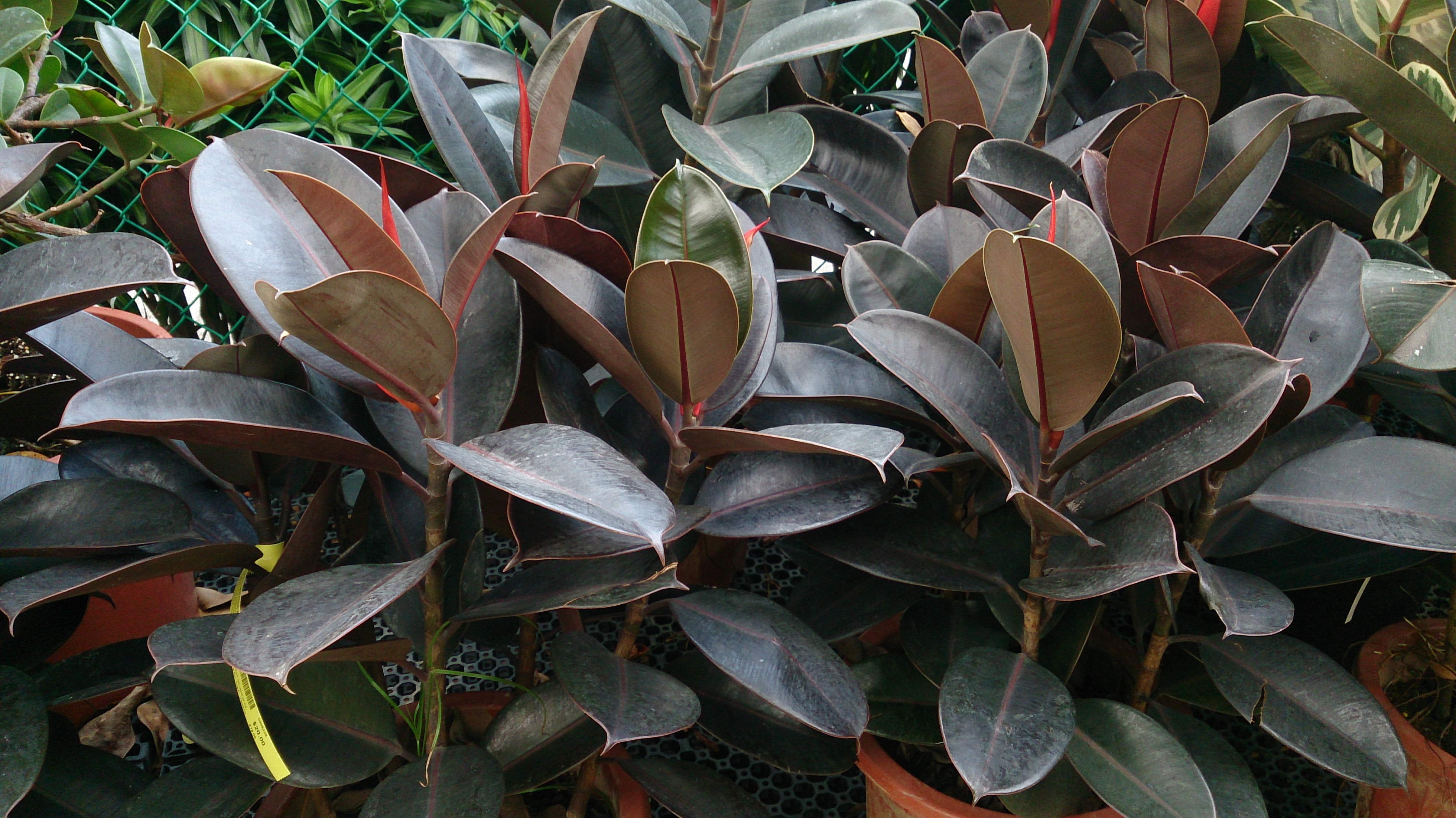 file rubber plant ficus elastica 39 robusta 39. Black Bedroom Furniture Sets. Home Design Ideas