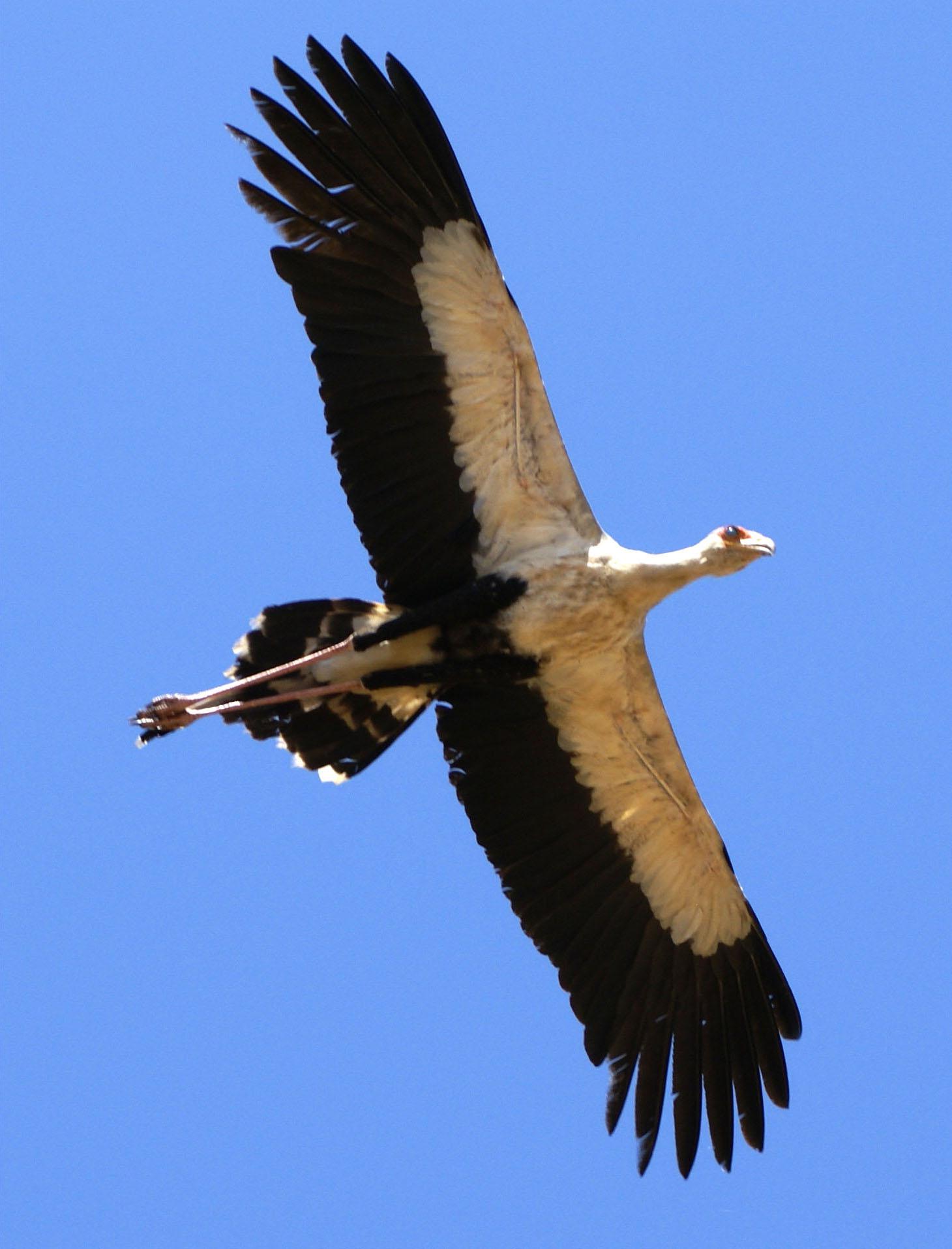 File:Sagittarius serpentarius -Tsavo East National Park ...