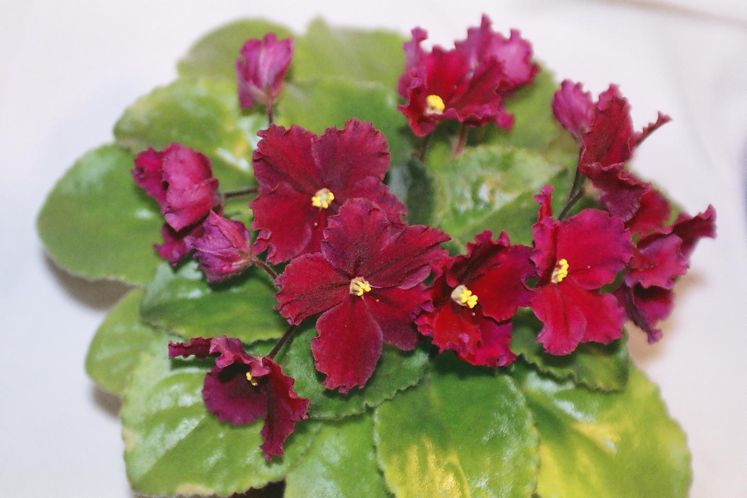 Фиалки с красными цветами фото