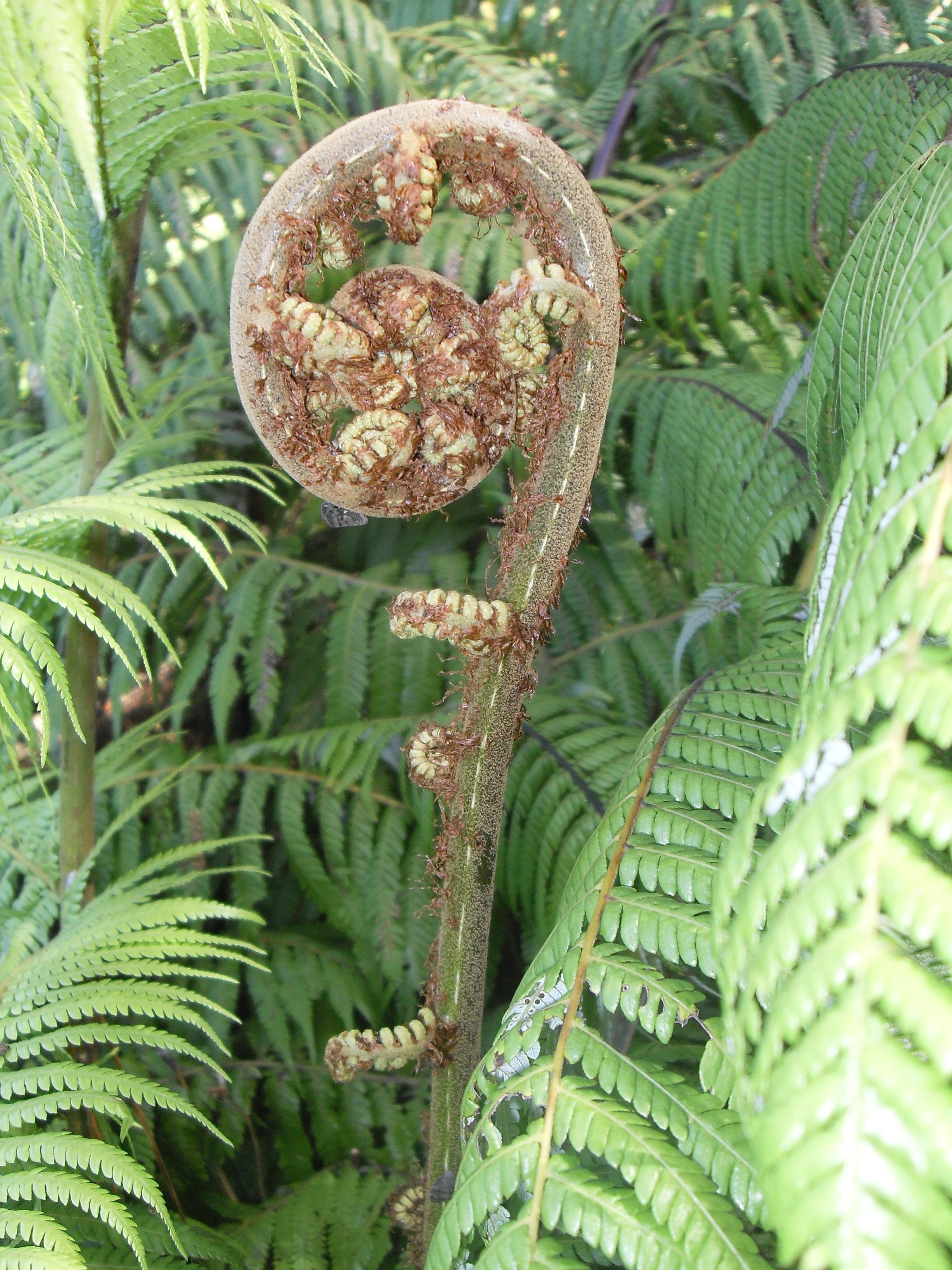 File silver fern koru2 jpg wikipedia for Baby fern plant