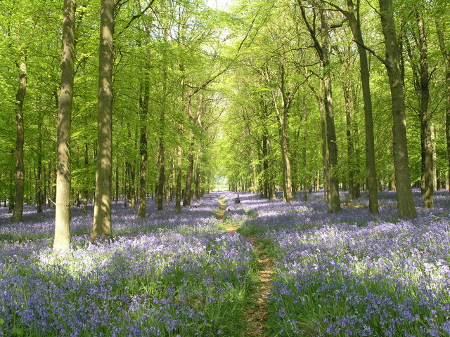 Spring on Ivinghoe Common - geograph.org.uk - 643526