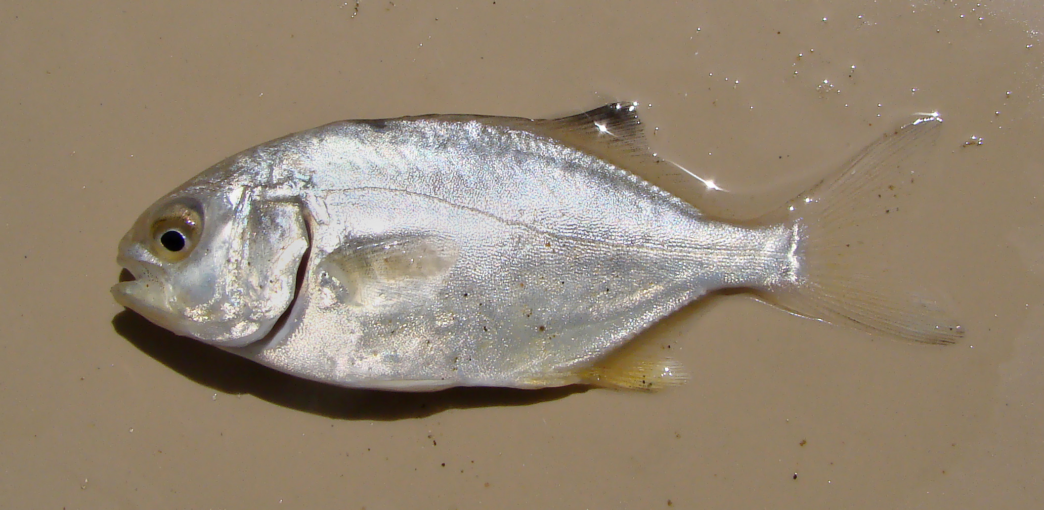 File trachinotus wikimedia commons for Picture of pompano fish