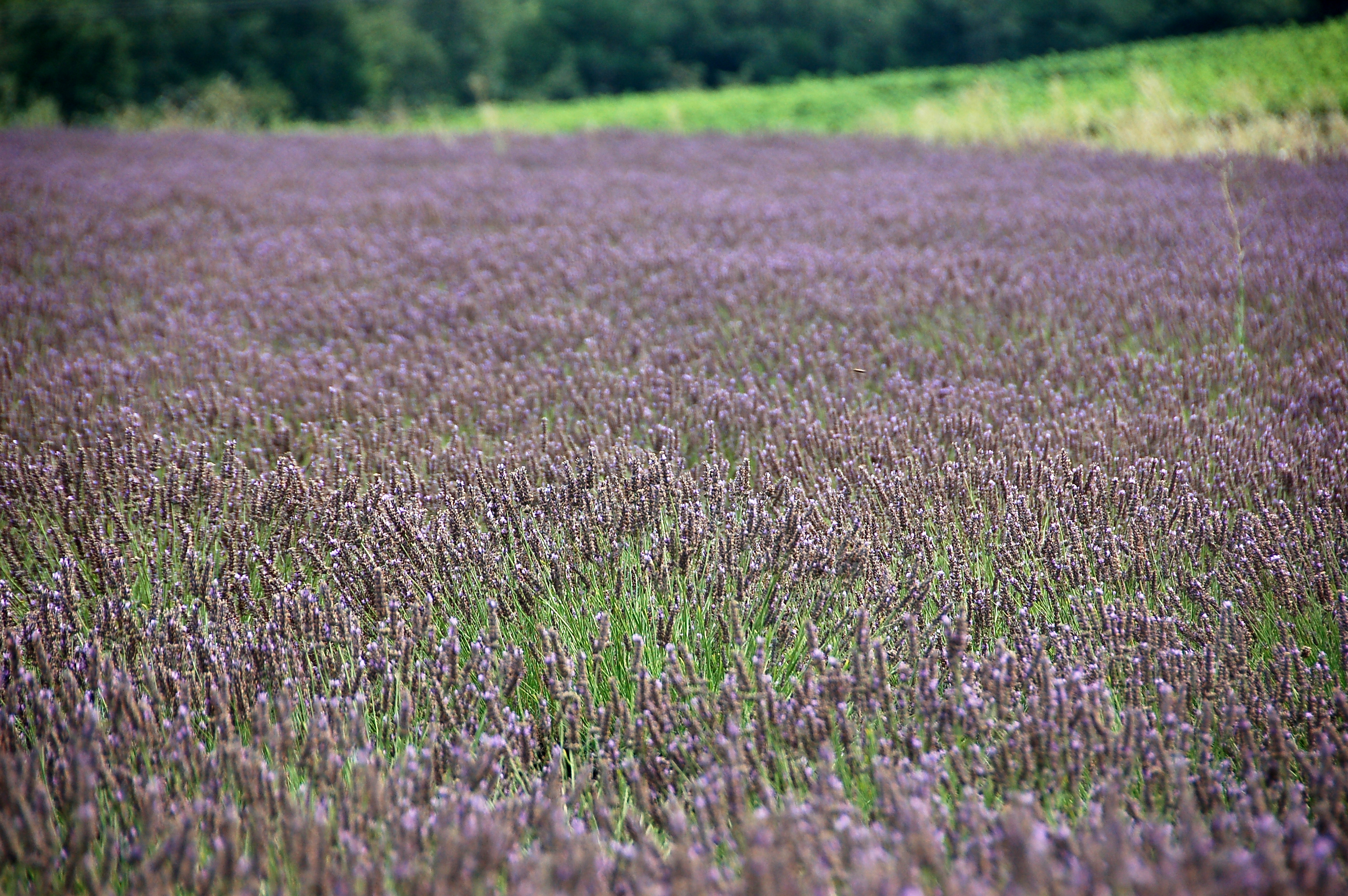 A field of purple lavender flowers.