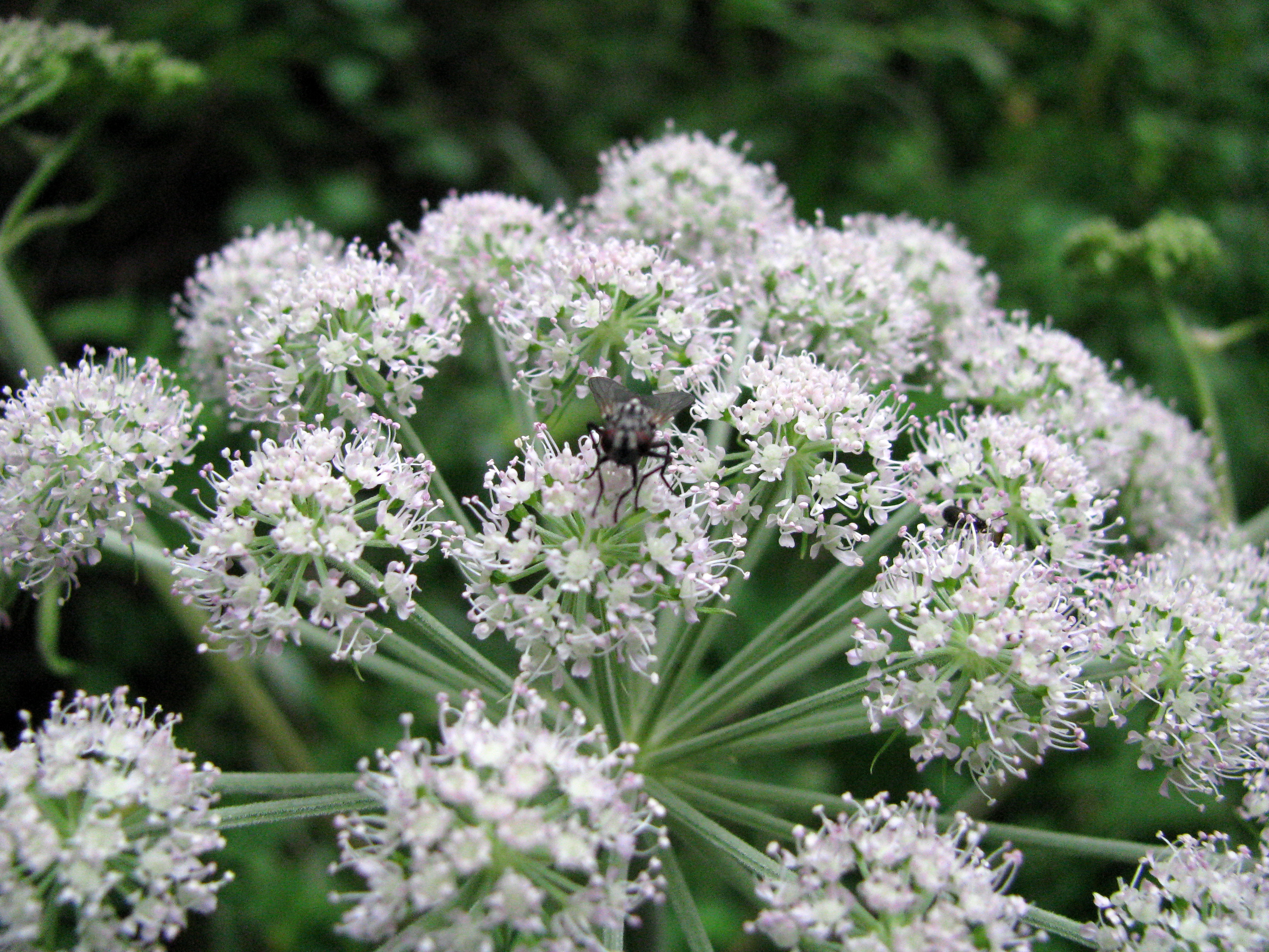 water hemlock icon