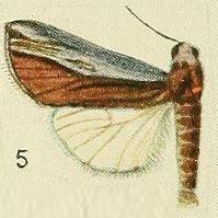 <i>Poppaea</i> (moth) genus of insects