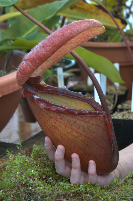 A cultivated Nepenthes rajah