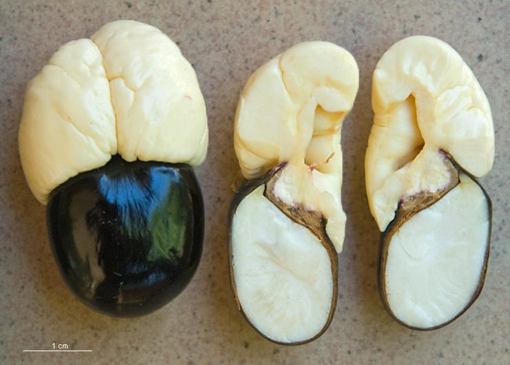 File:2013.11-411-169 Akee,seed&aril(whole,LS) Bobo-Dioulasso,BF thu14nov2013-0953h.jpg
