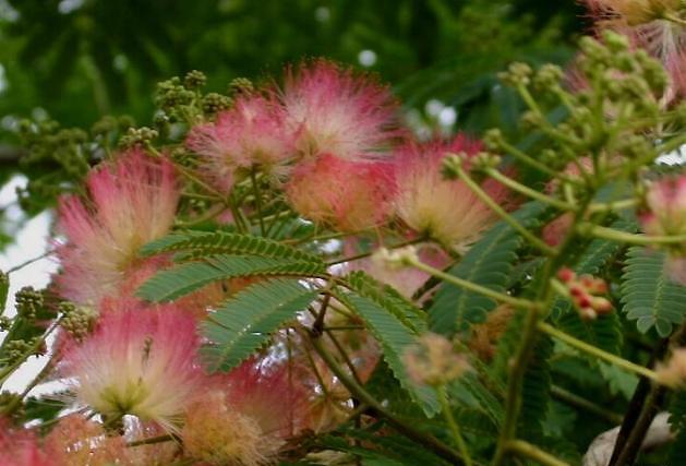 Flori de albizia