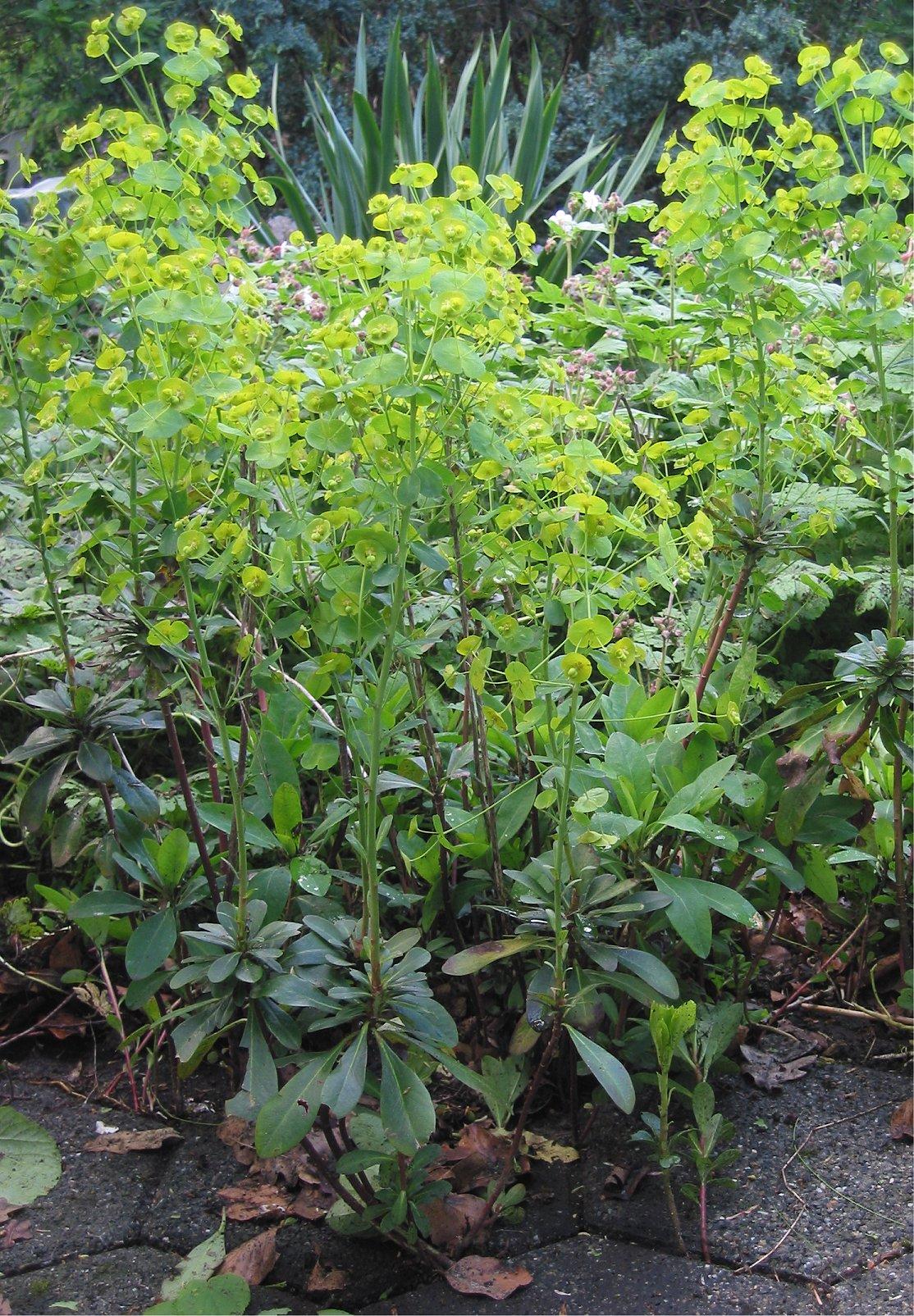 http://upload.wikimedia.org/wikipedia/commons/d/d5/Amandelwolfsmelk_Euphorbia_amygdaloides_plant.jpg