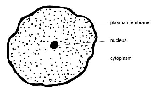 Anatomy and physiology of animals an animal cell.jpg
