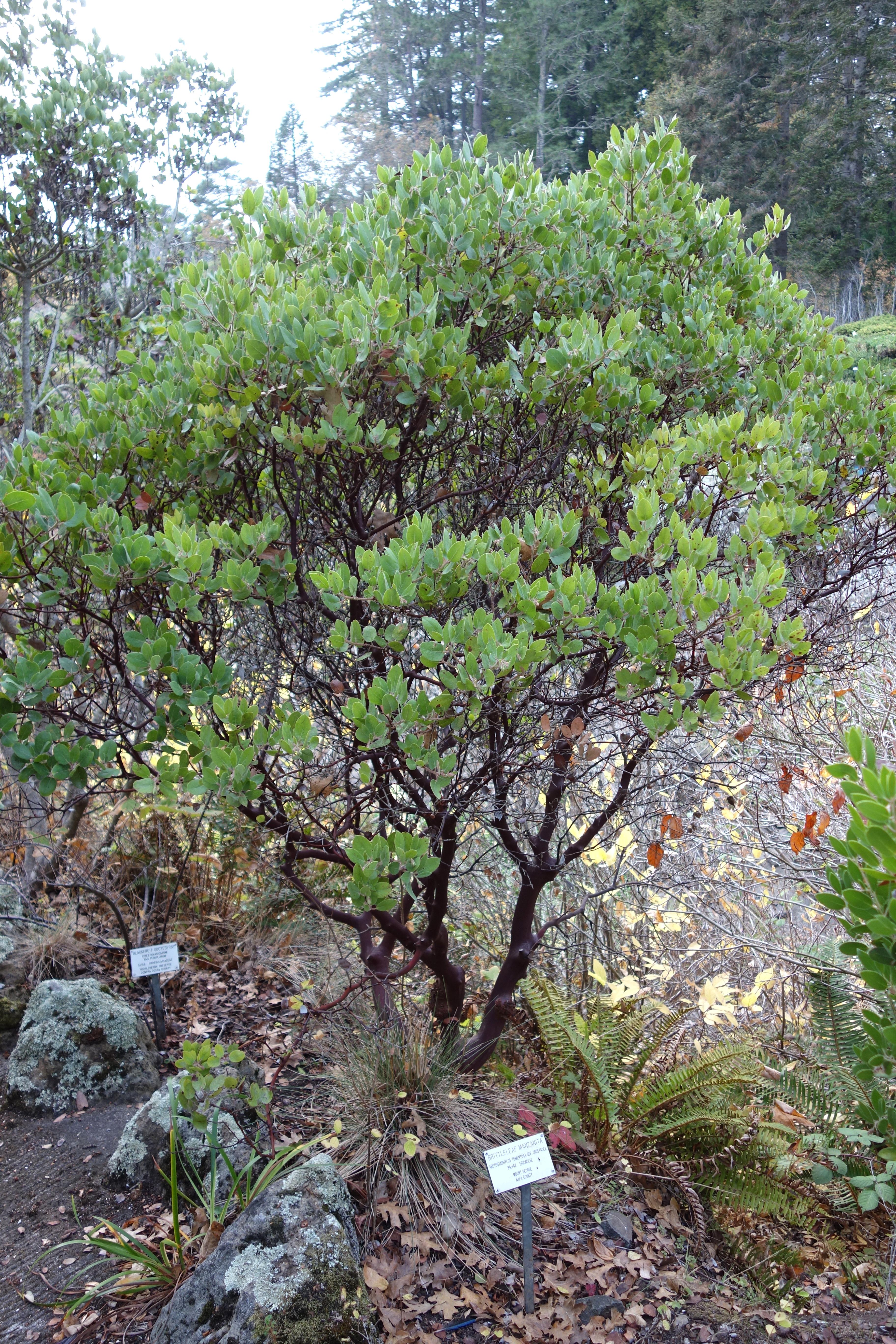 FileArctostaphylos tomentosa subsp crustacea Regional Parks