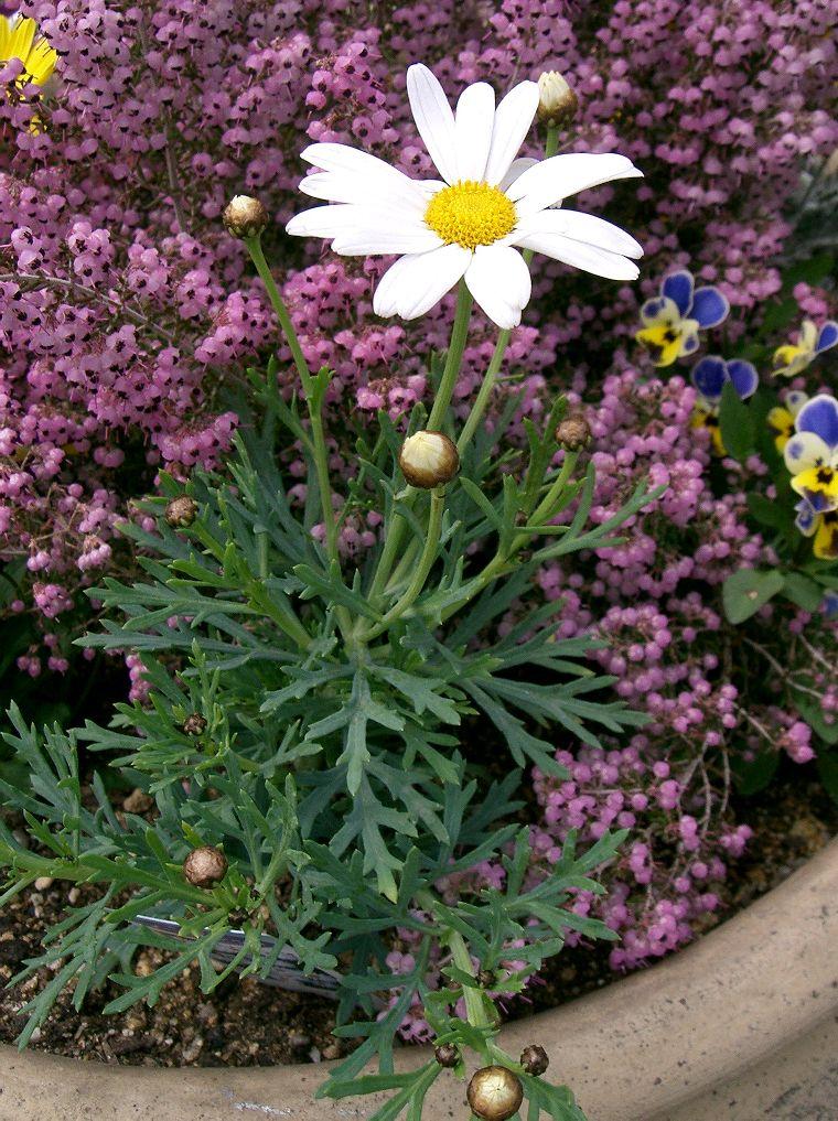 マーガレット (植物) - Wikipedia