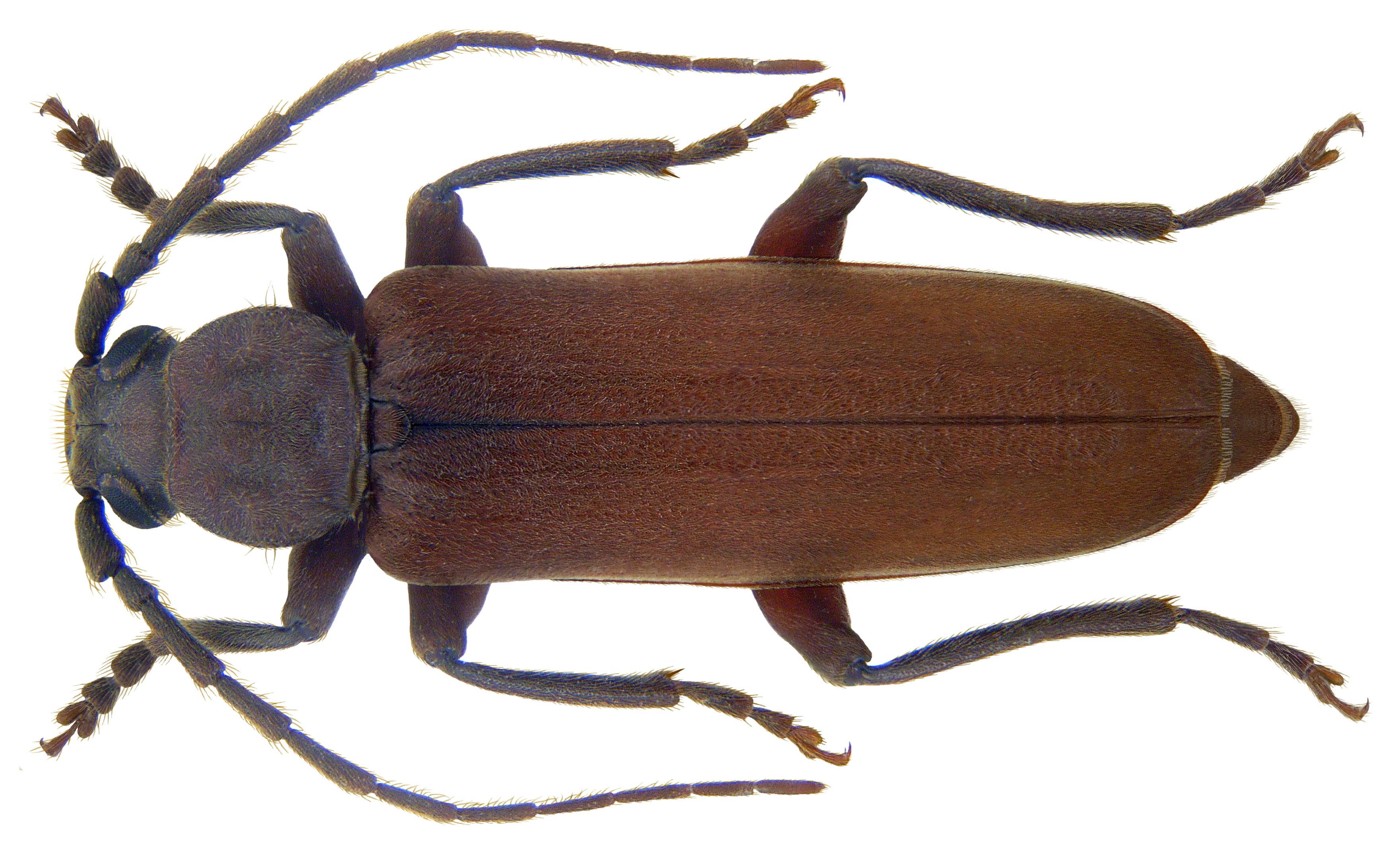 File:Arhopalus rusticus (Linné, 1758) (3919124103).jpg ...
