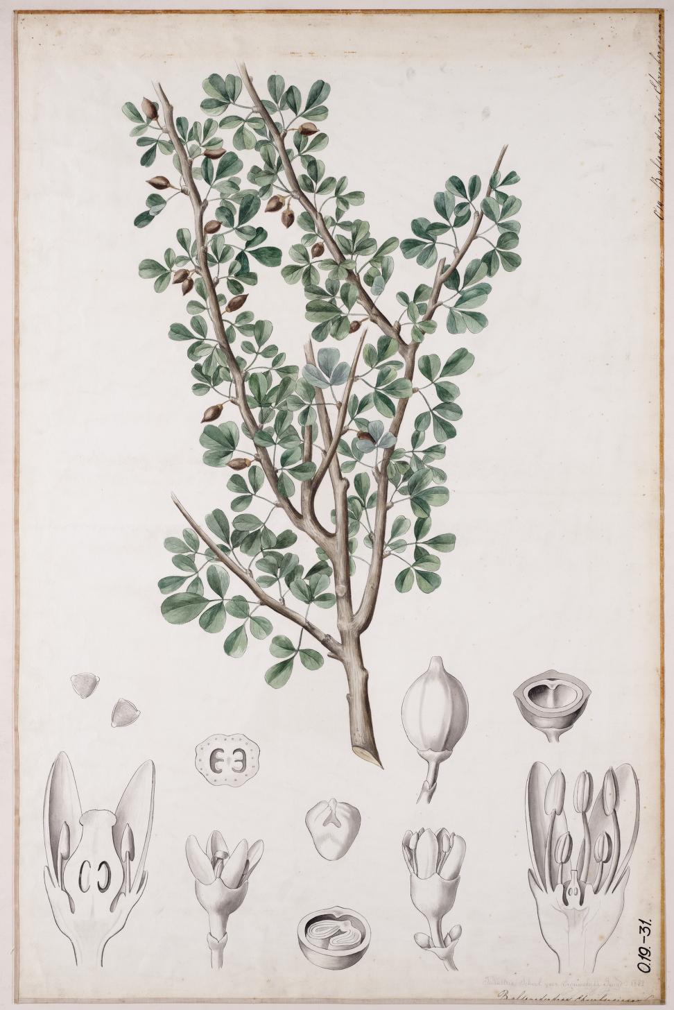 Balsamodendron ehrenbergianum00.jpg