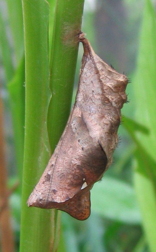 Bộ sưu tập cánh vẩy 6 Caligo_eurilochus_-_Puppe_2_%28HS%29