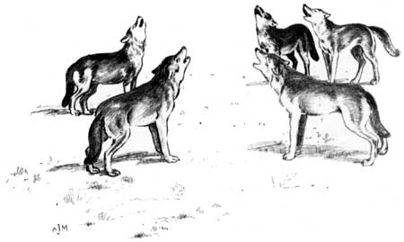 Canis lupus howling (illustration).jpg