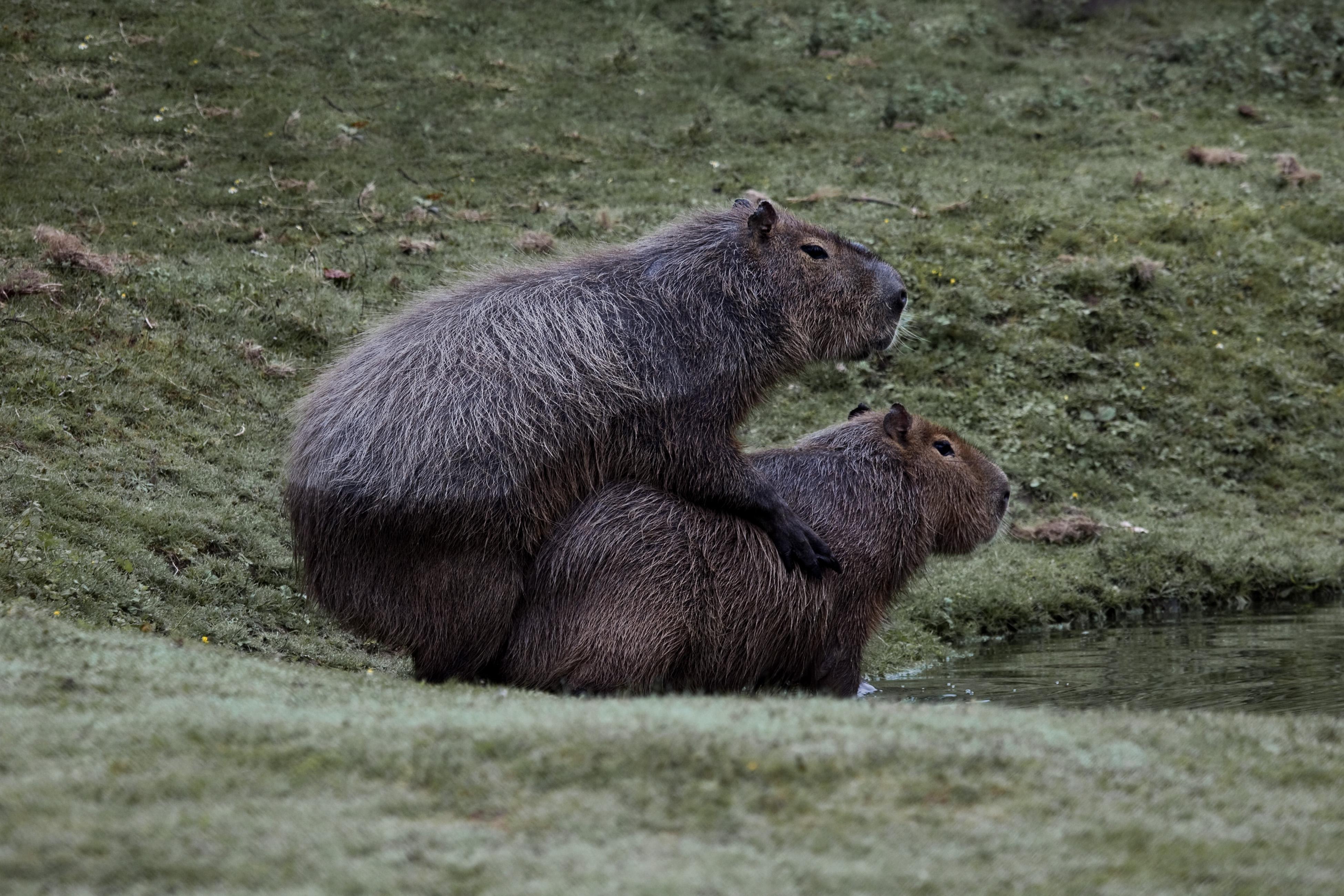 Kết quả hình ảnh cho capybara mating