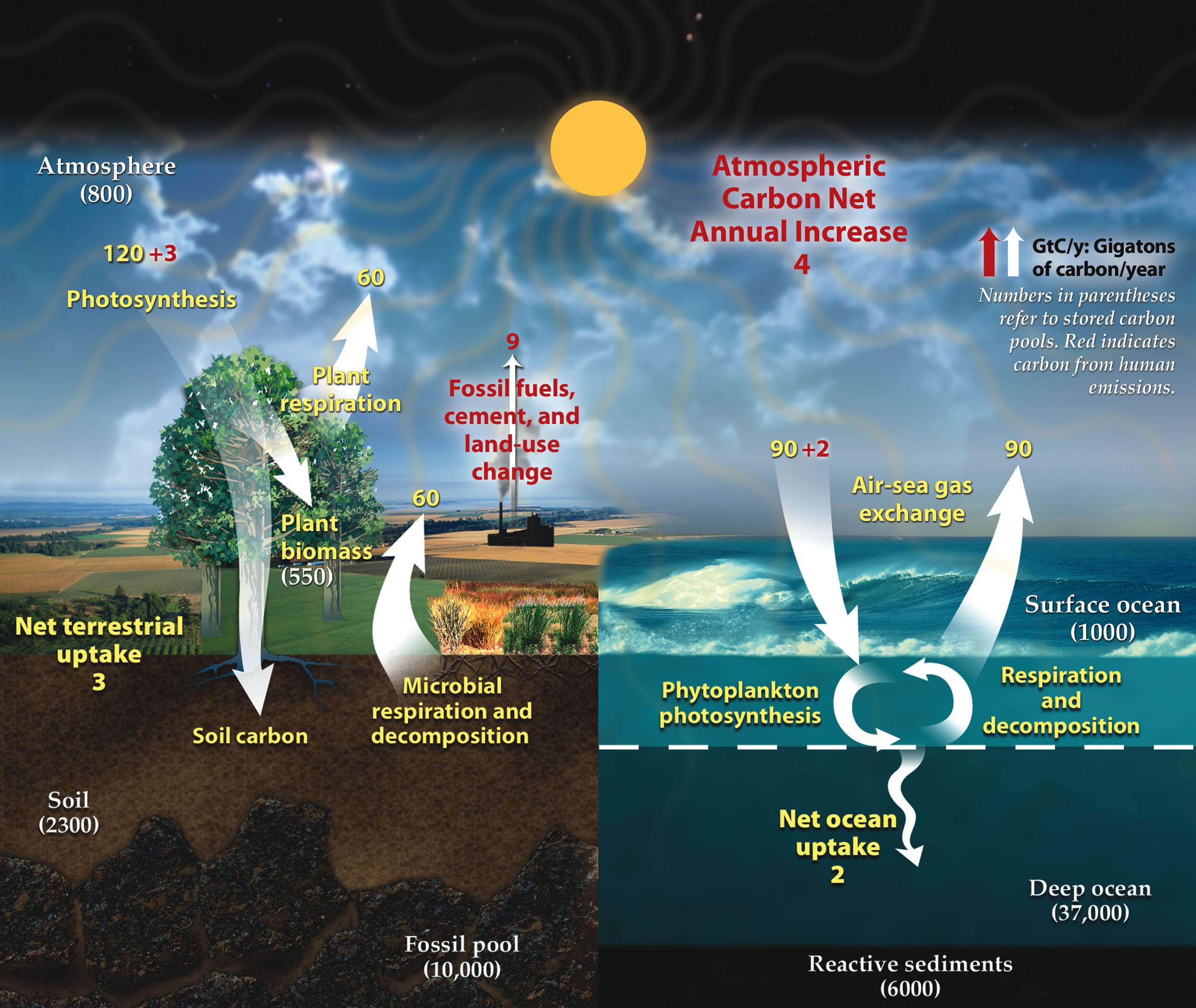 The Carbon Cycle Diagram.Carbon Cycle Wikipedia