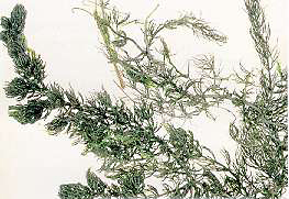 Ceratophyllum demersum3.jpg