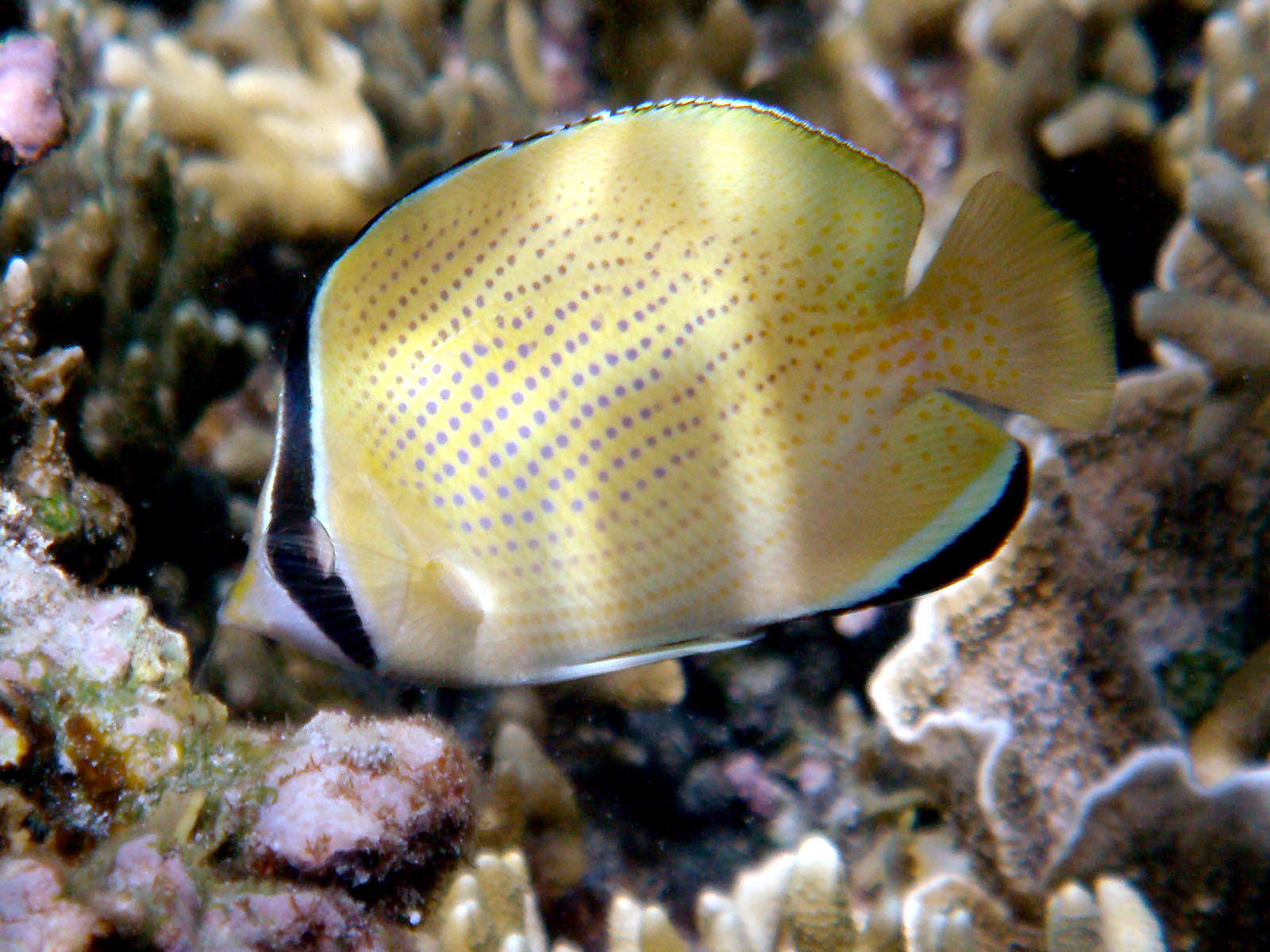 Speckled butterflyfish - Wikipedia