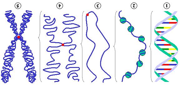 Figura 2:: Diferentes níveis de condensação do DNA. (1) Cadeia simples de DNA . (2) Filamento de cromatina (DNA com histonas). (3) Cromatina condensada em interfase com centrómeros.  (4) Cromatina condensada em profase. (Existem agora duas cópias da molécula de DNA) (5) Cromossoma em metafase