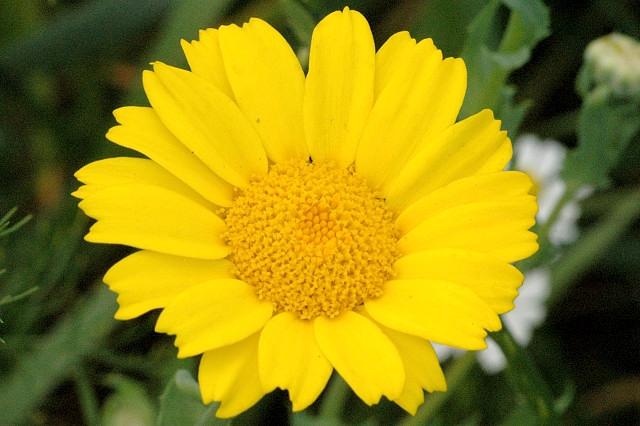 Chrysanthemum.segetum.-.lindsey
