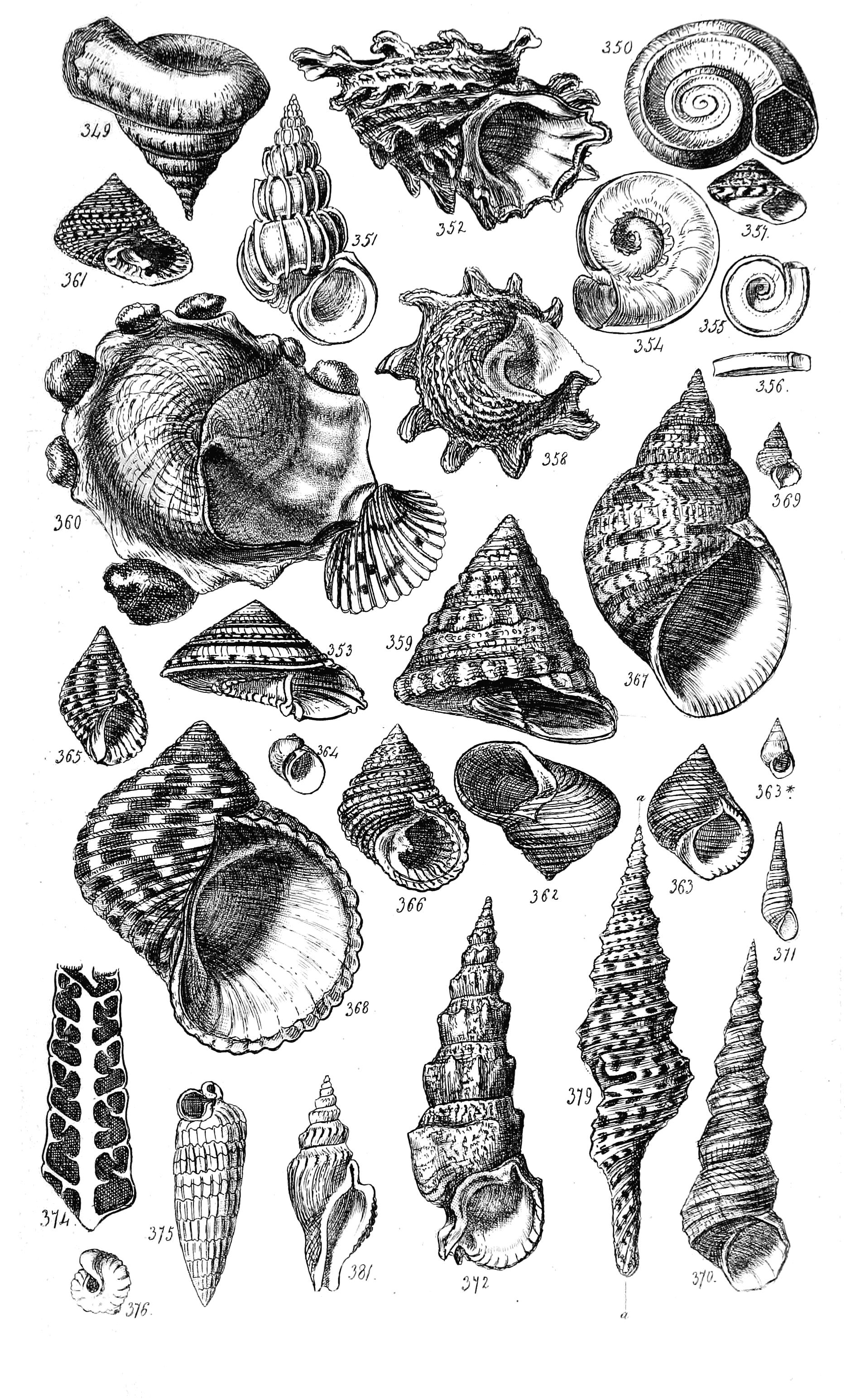 FileConchological Manual Plate 16