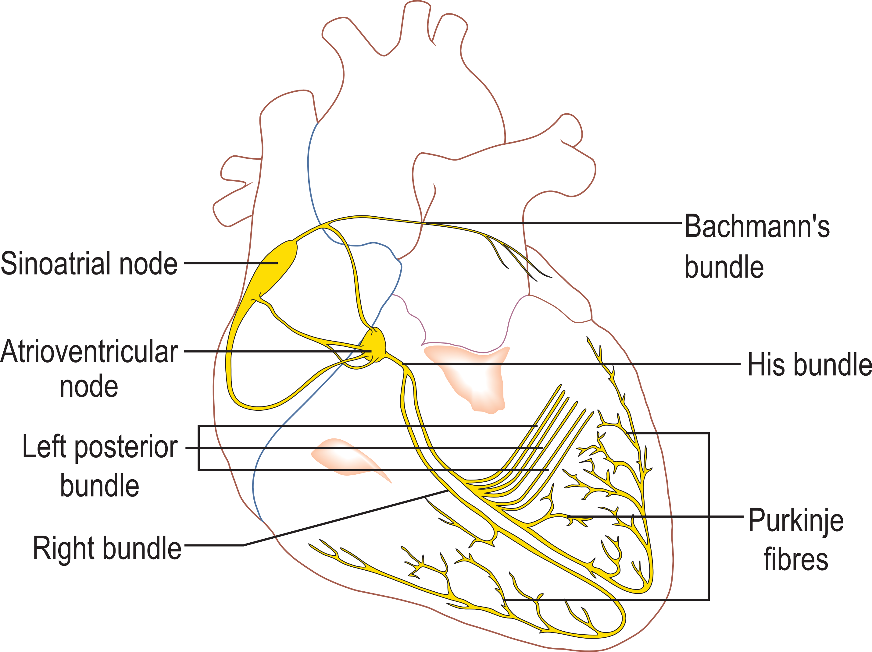 Second degree or third degree atrioventricular block ems 12 lead conduction system of the heart ccuart Image collections