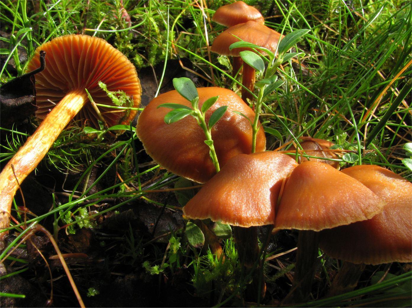 File cortinarius gentilis wikimedia commons for Calentadores para jardin tipo hongo
