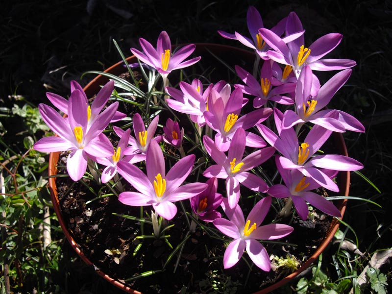 List of flower names c common and easy to grow flowers with pictures crocus tommasinianus roseus 2 mightylinksfo
