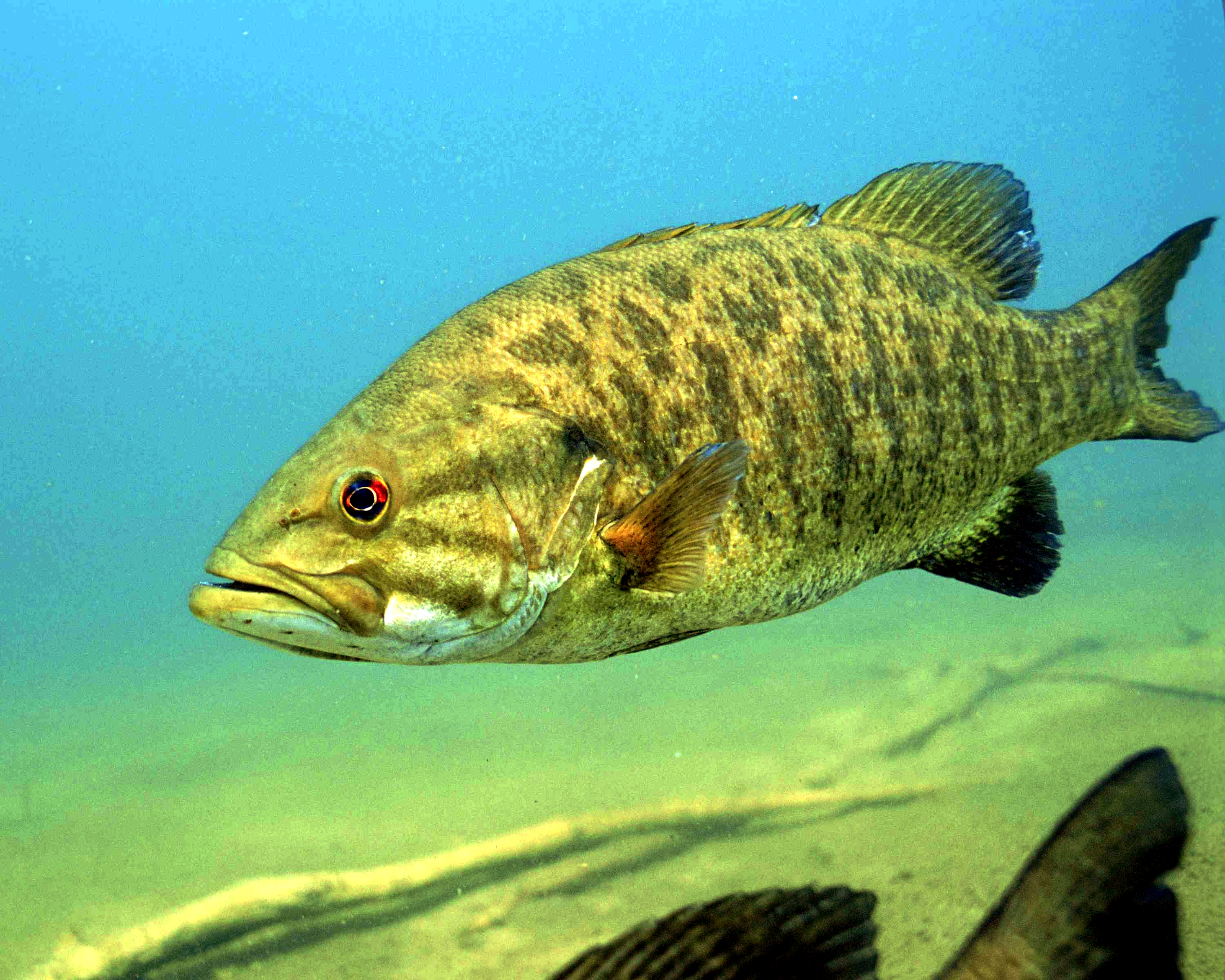 File detailed underwater photo of smallmouth bass fish for Bass fish images