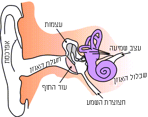 קובץ:Ear-anatomy-text-small.png