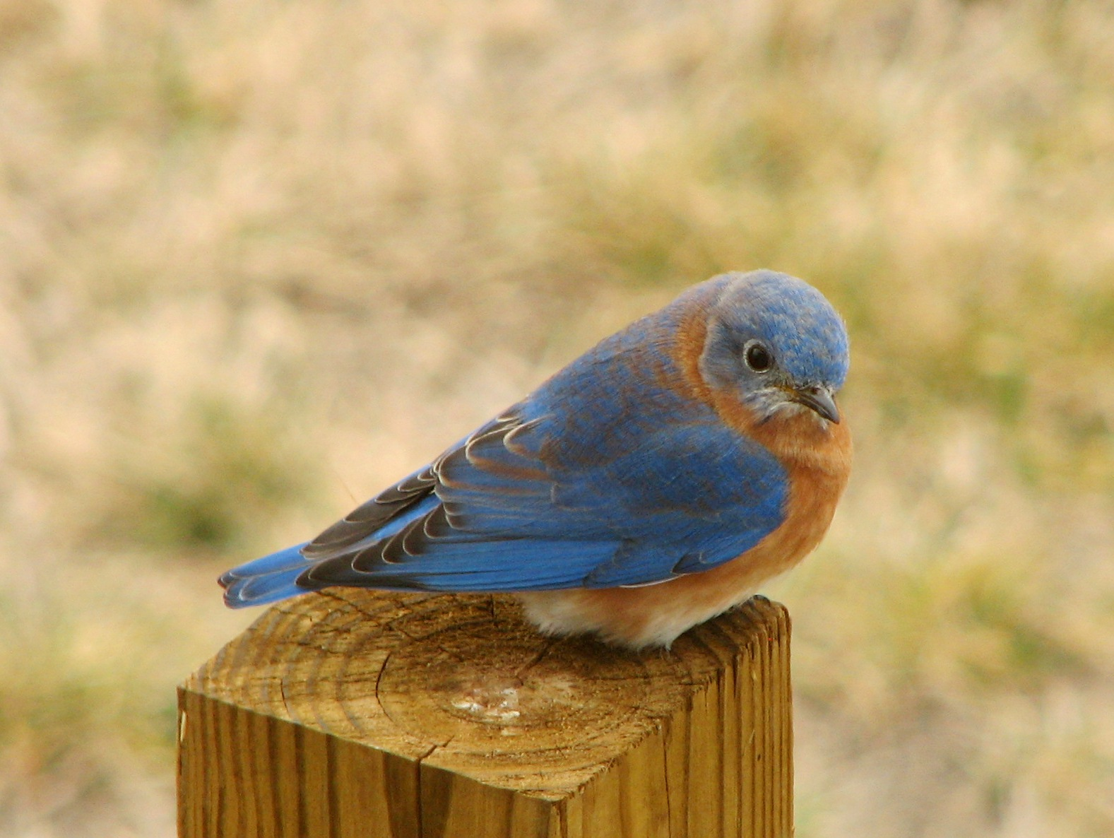 File:Eastern Bluebird.jpg