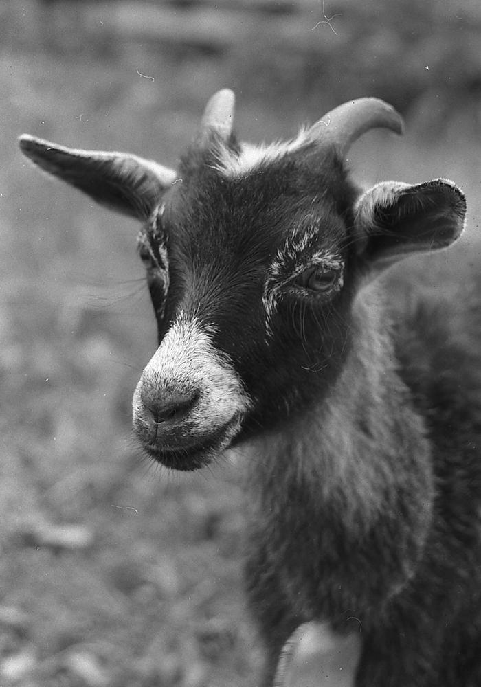 Elektrostal._Black_goat.jpg
