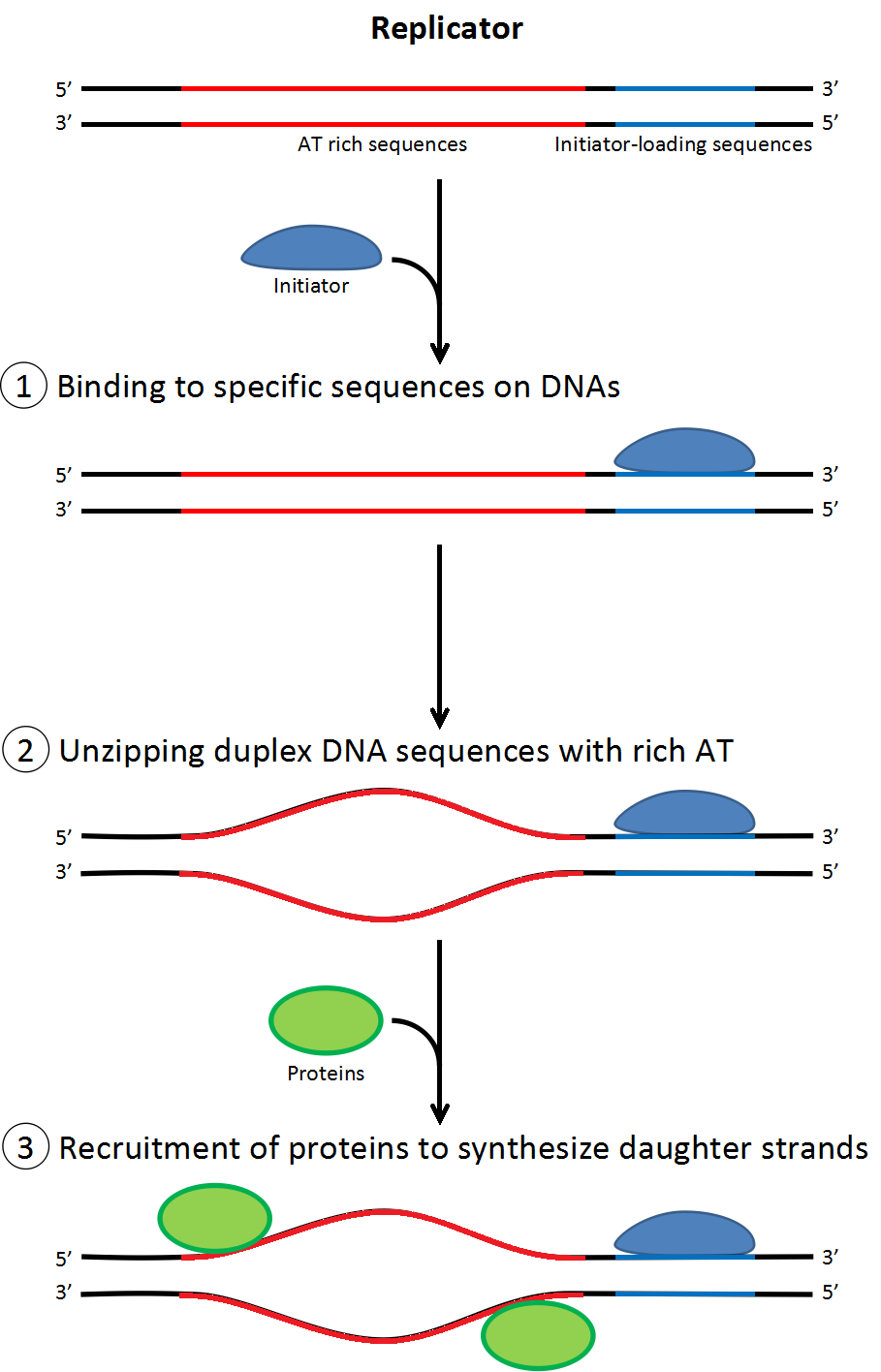 dna replication at the Flow of genetic information kit© dna replication continued flow of genetic information kit© dna replication continued flow of genetic information kit.