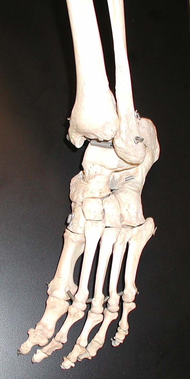 Human skeleton foot - photo#7